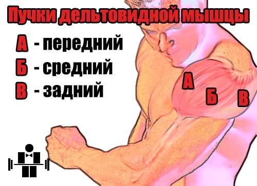 Тренировка плеч. Рекомендации